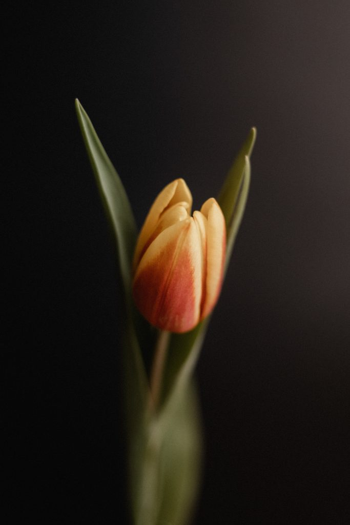 black background with single orange flower tulip wit green stem